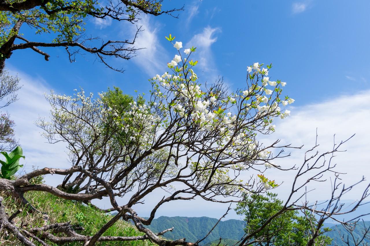 蛭ヶ岳山腹のシロヤシオ
