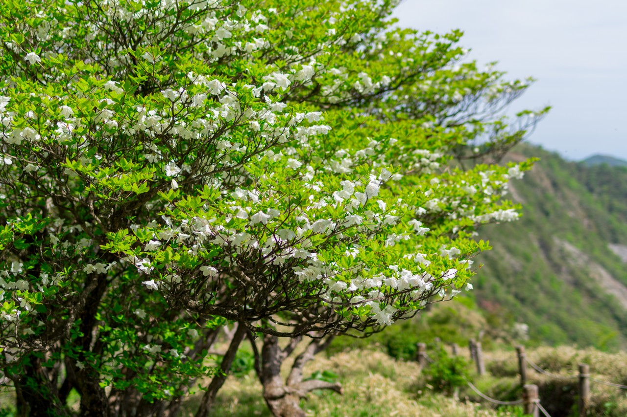 蛭ヶ岳付近のシロヤシオ