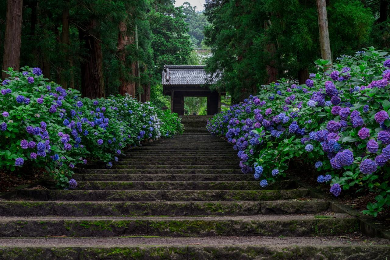大中寺のアジサイ