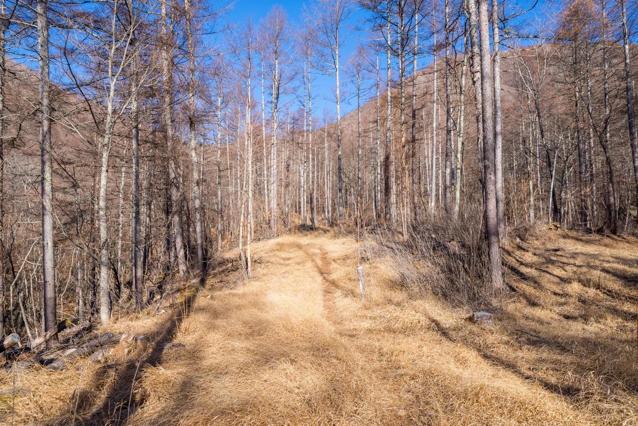 湯ノ沢峠付近のカラマツ林