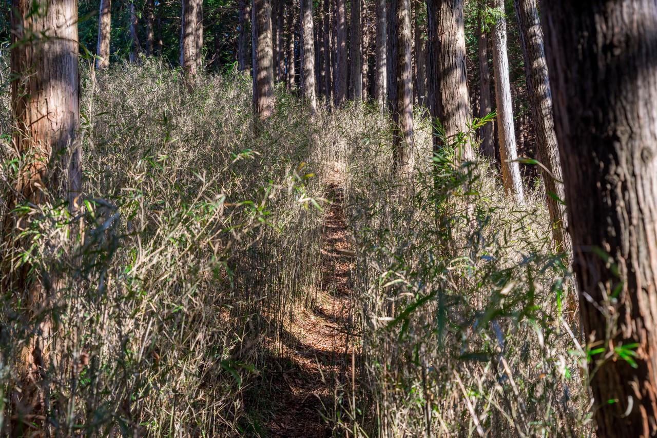 日影山の竹ヤブ