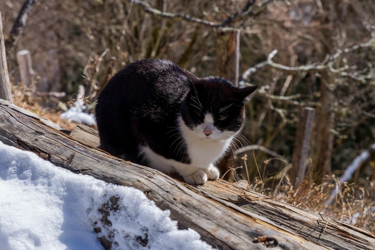 七ツ石小屋の猫