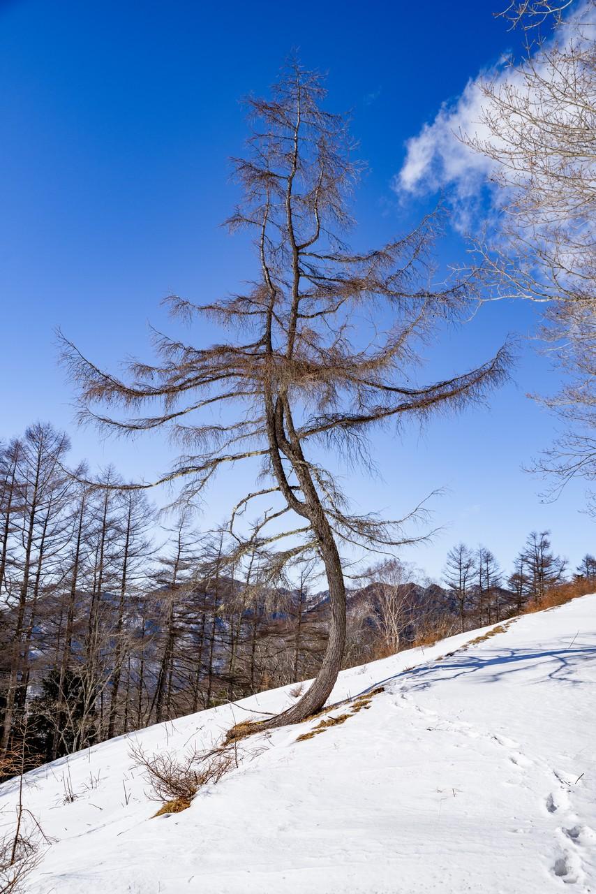 雲取山ダンシングツリー