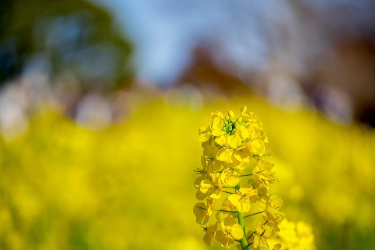 吾妻山公園の菜の花