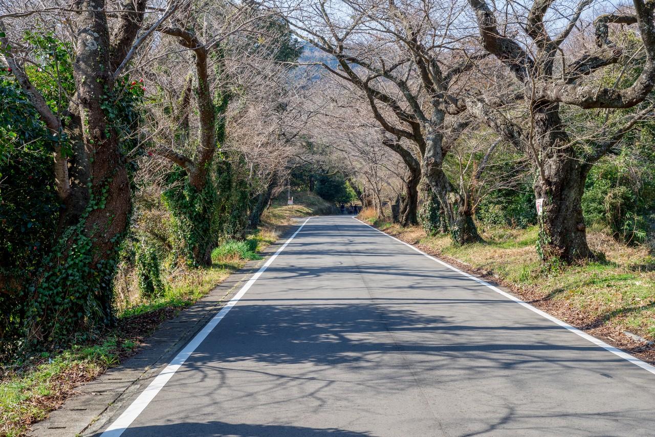曽我丘陵の桜並木