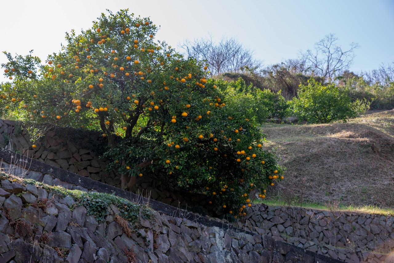 曽我丘陵のミカン畑