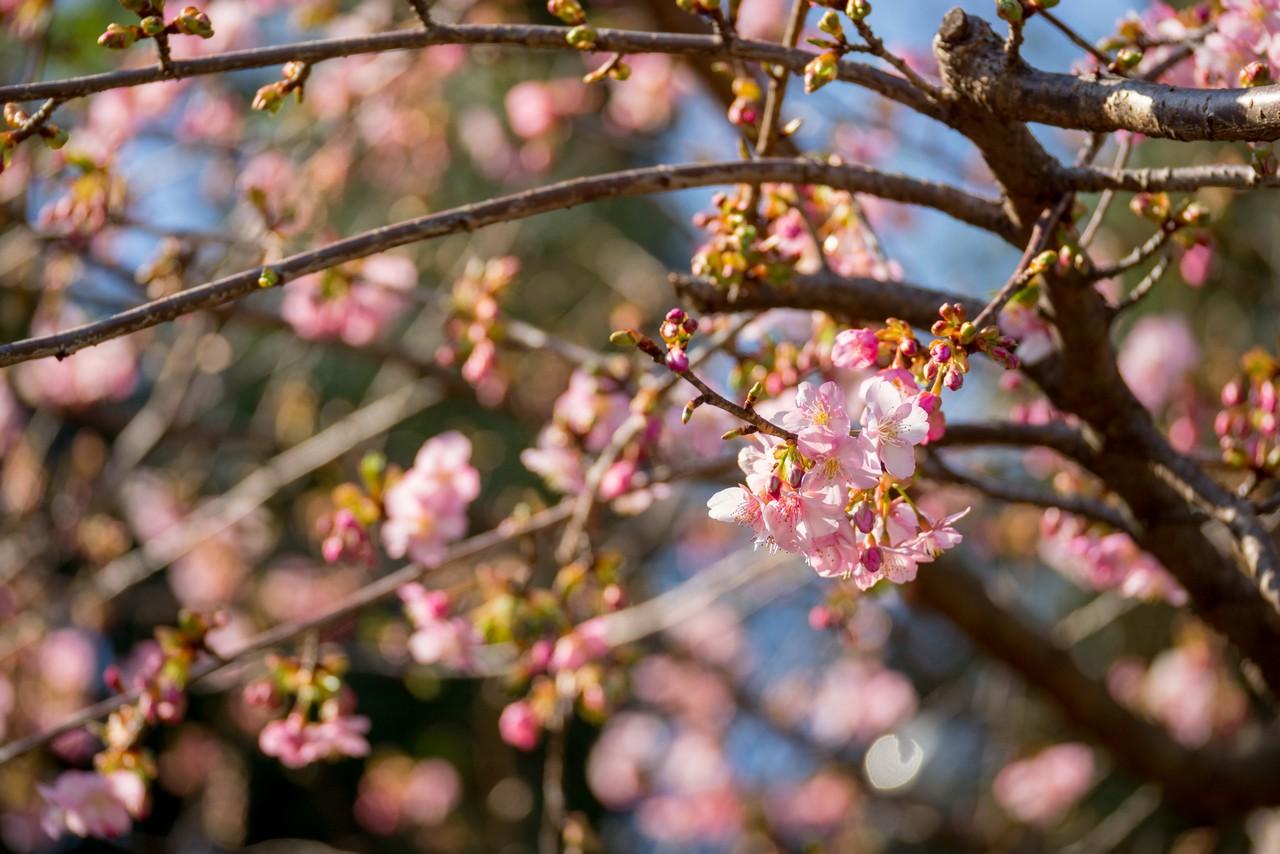 曽我丘陵の川津桜