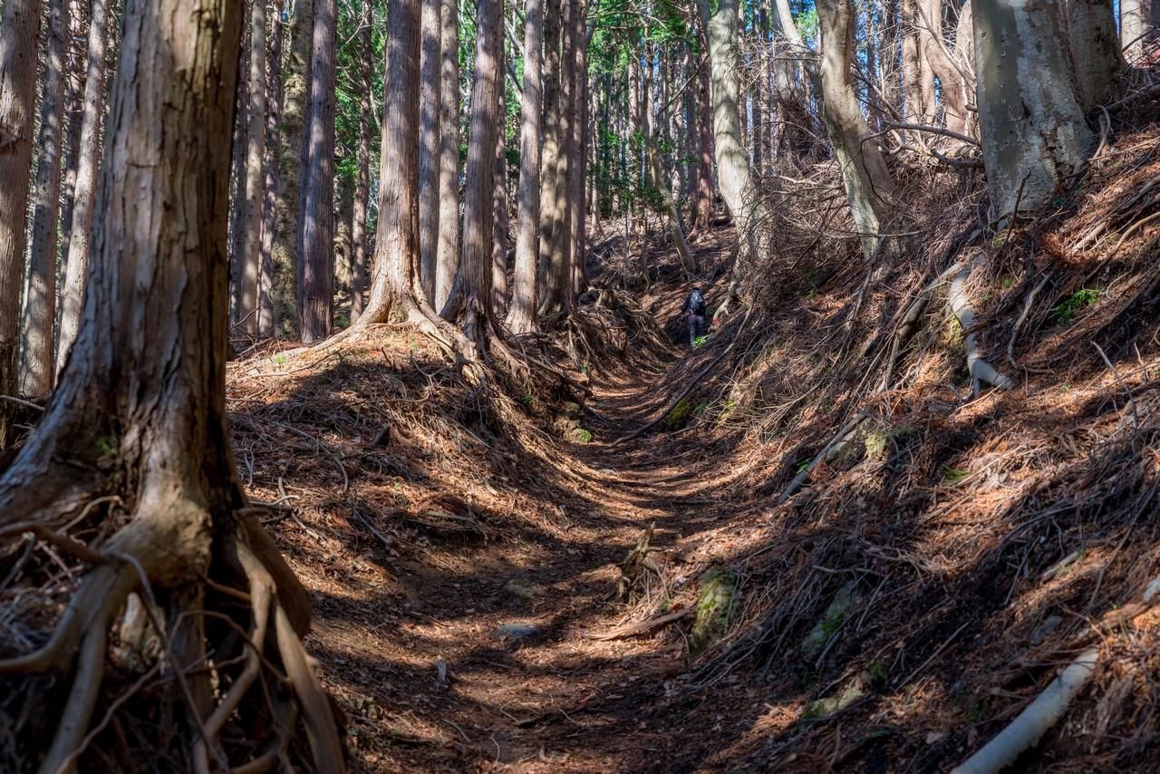 三峰山の杉林