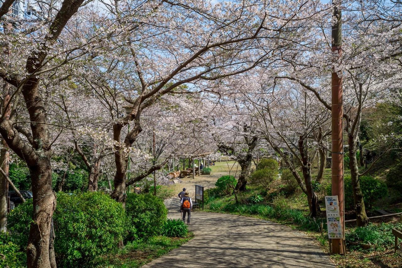 衣笠山公園の桜並木