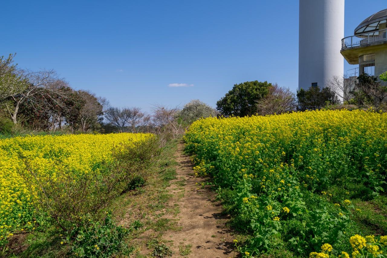 大楠山の菜の花畑