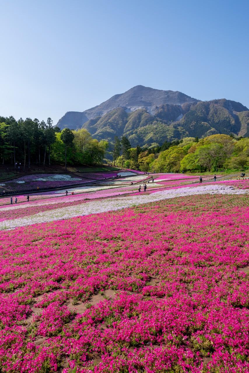 羊山公園 芝桜の丘から見た武甲山