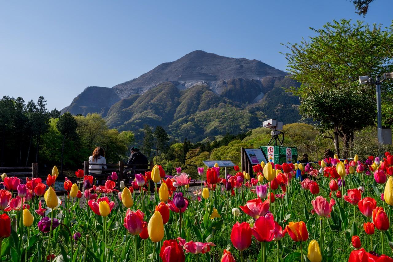 羊山公園のチューリップと武甲山
