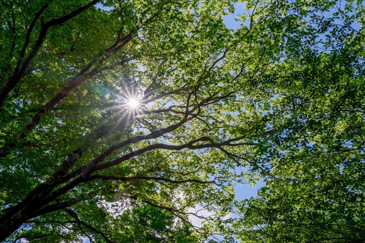 天城山のブナ林