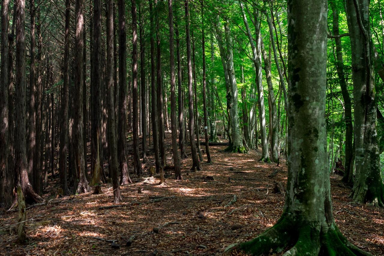 タワ尾根の植林帯