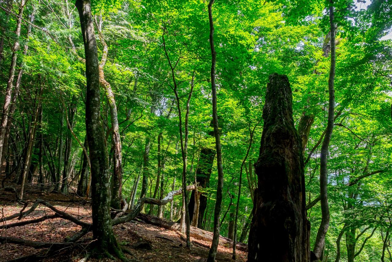 タワ尾根のブナ林