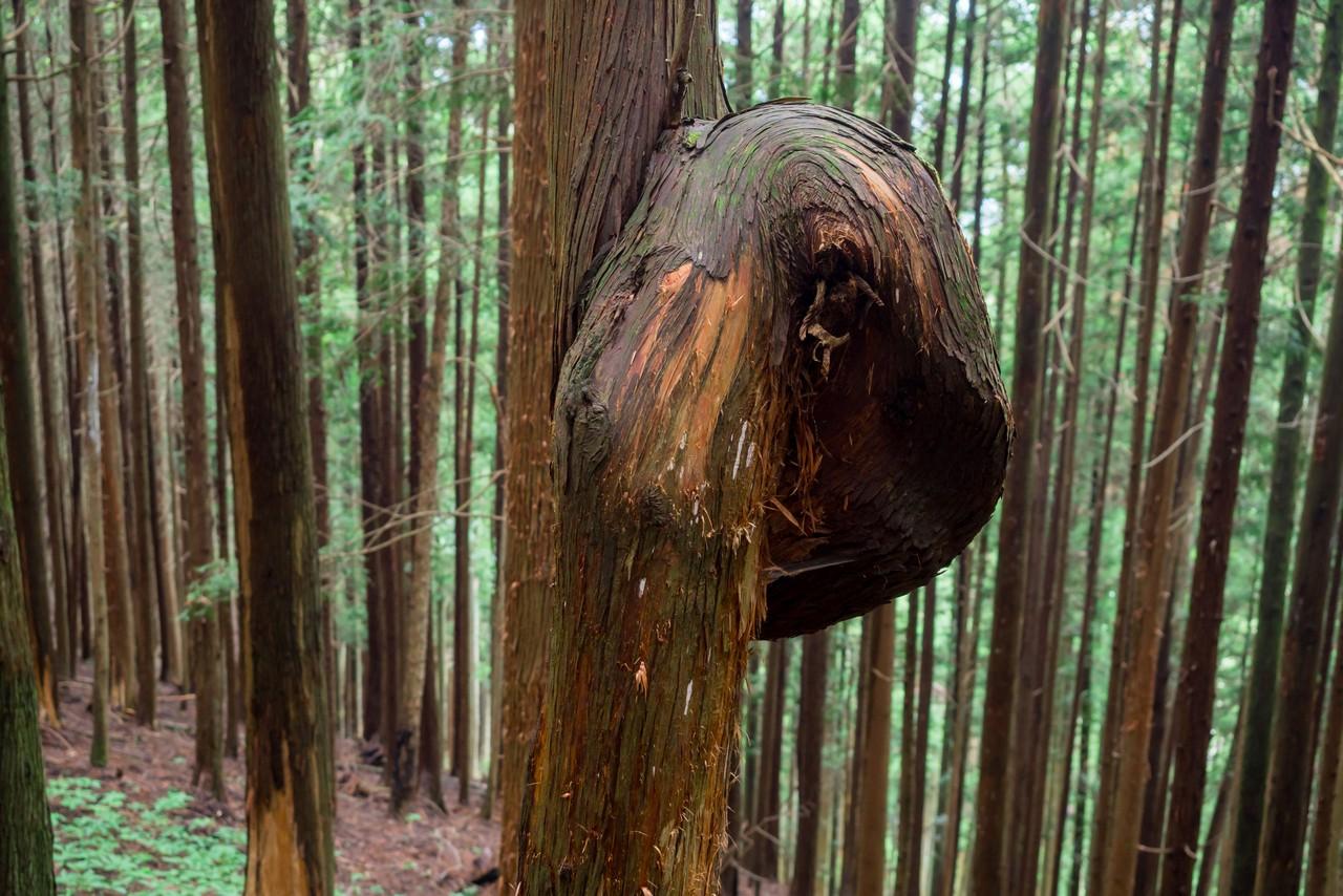ヨコスズ尾根の曲がった杉