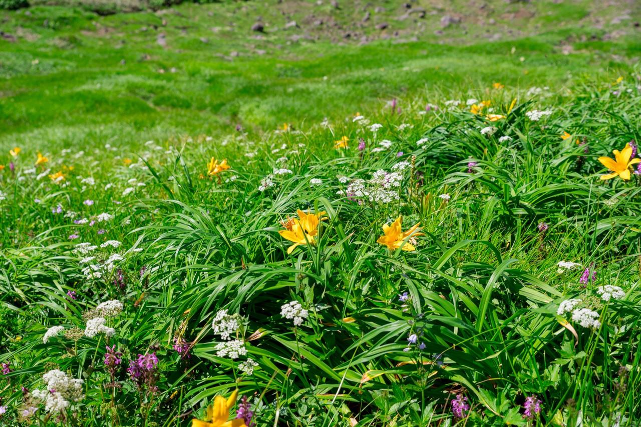 鳥海湖周辺のお花畑