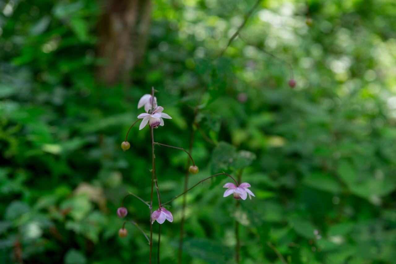 高尾山 野草園のレンゲショマ