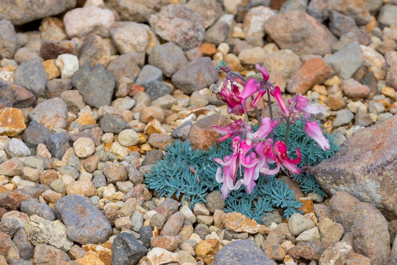根石岳山荘前に咲くコマクサ