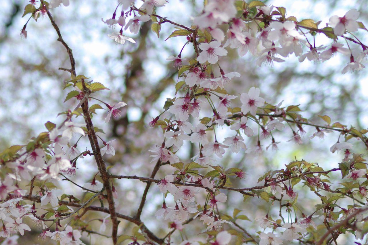 大倉尾根のマメ桜