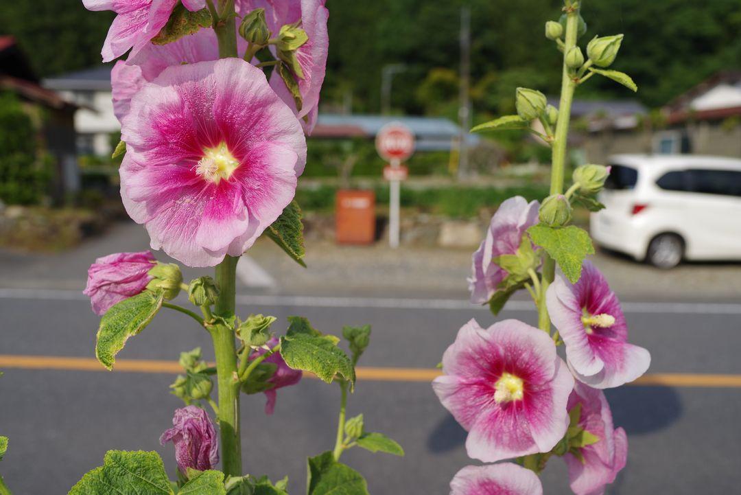 道端に咲くタチアオイ