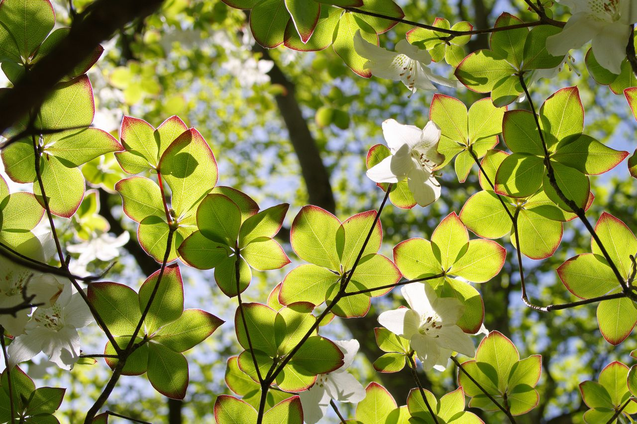 シロヤシオの葉