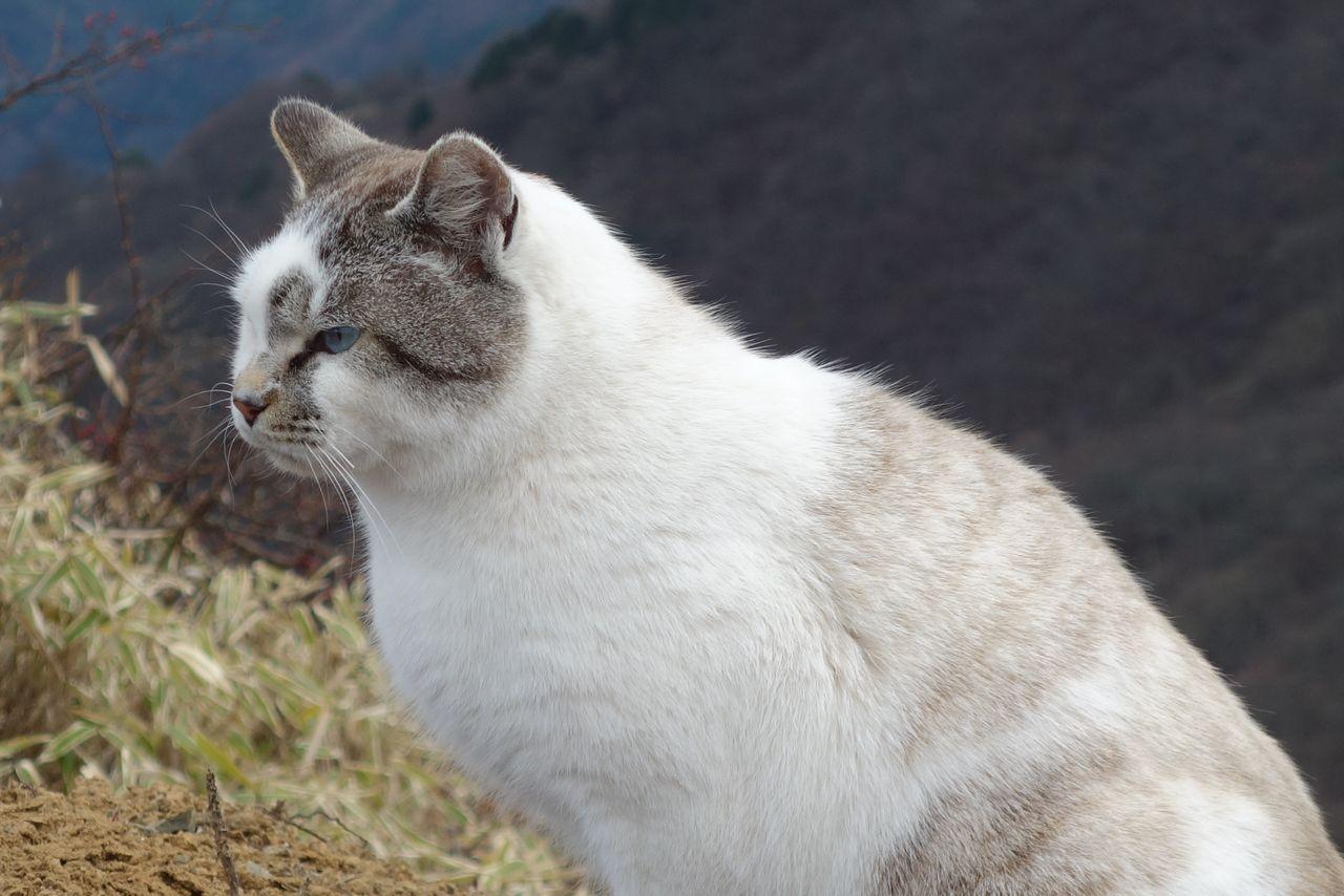 塔ノ岳山頂の猫の横顔