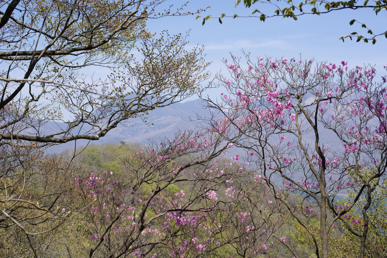 鳴虫山のアカヤシオ