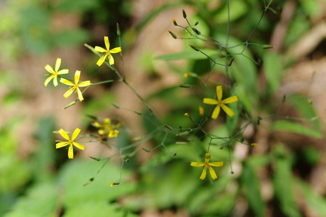 ニガナの花