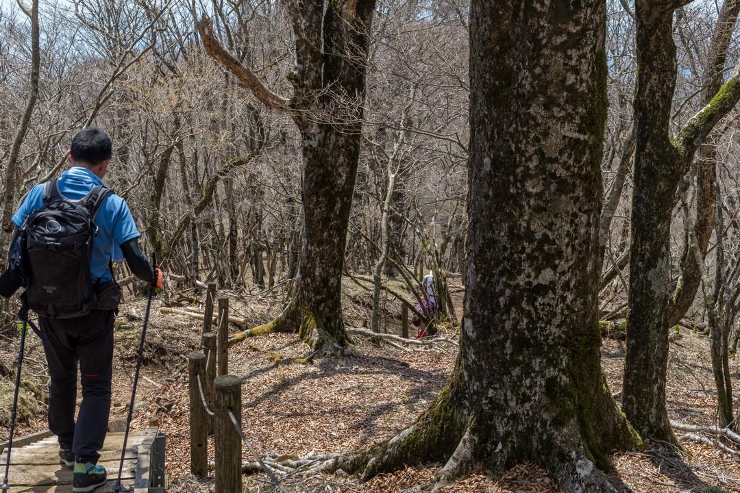鍋割山稜のブナ林
