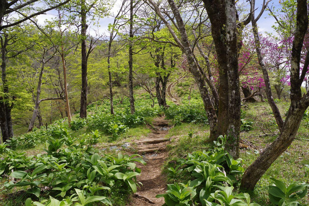 檜洞丸山頂直下のコバイケイソウ群生地