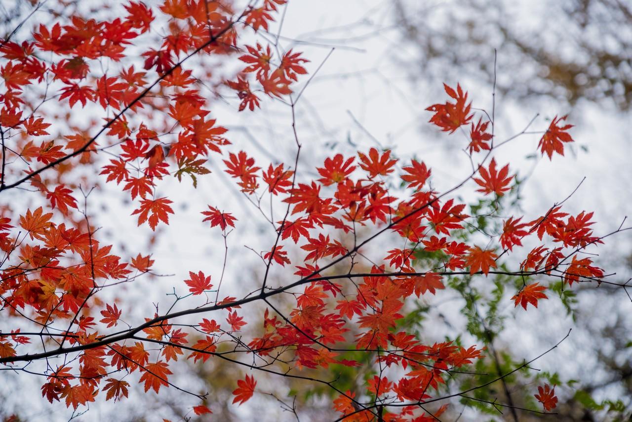 笹尾根縦走路の黄葉