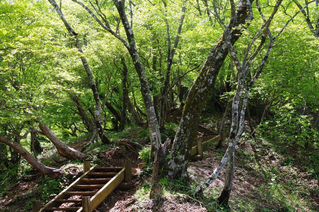 檜洞丸 つつじ新道の木道
