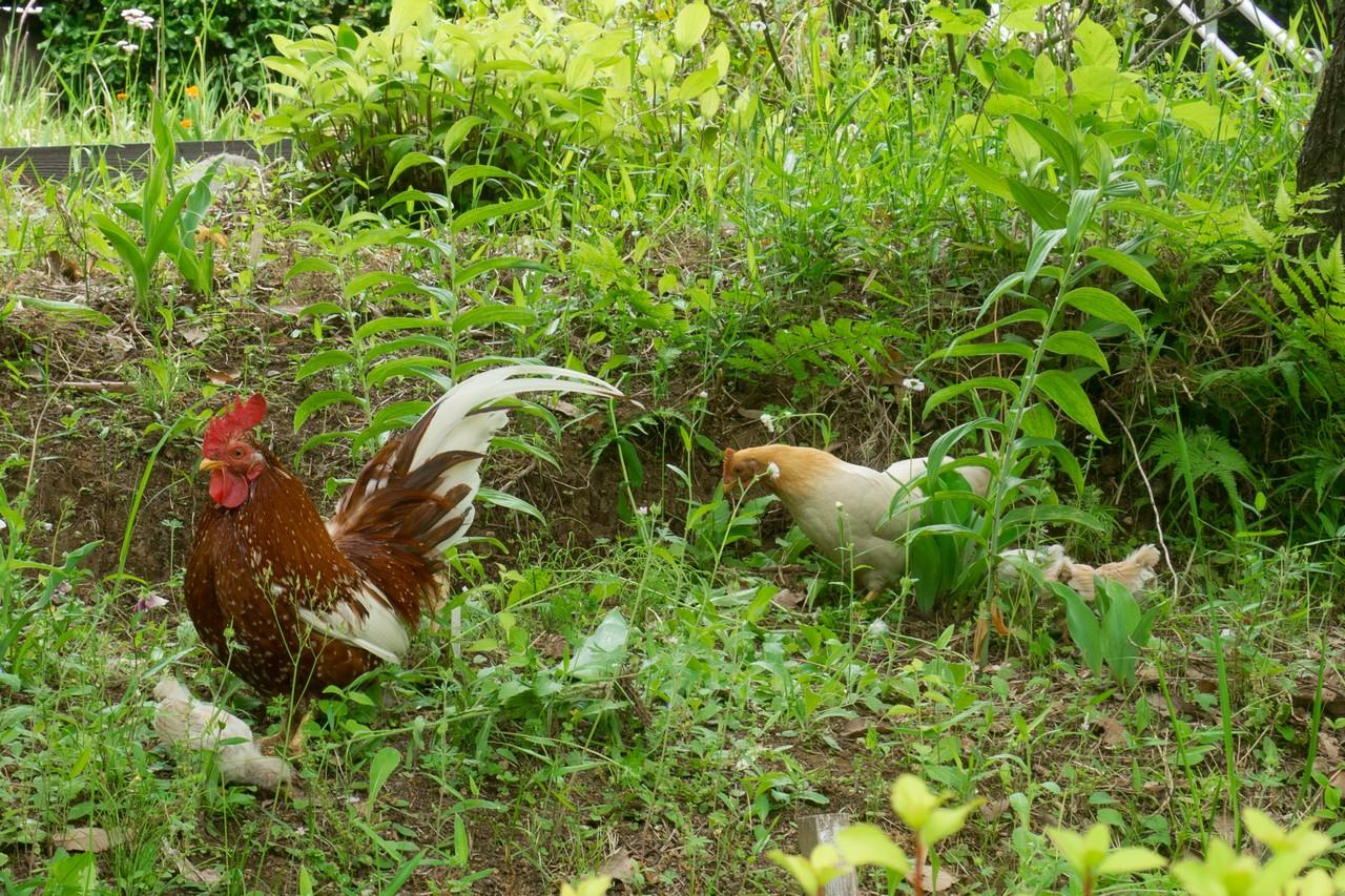 一本杉公園の鶏