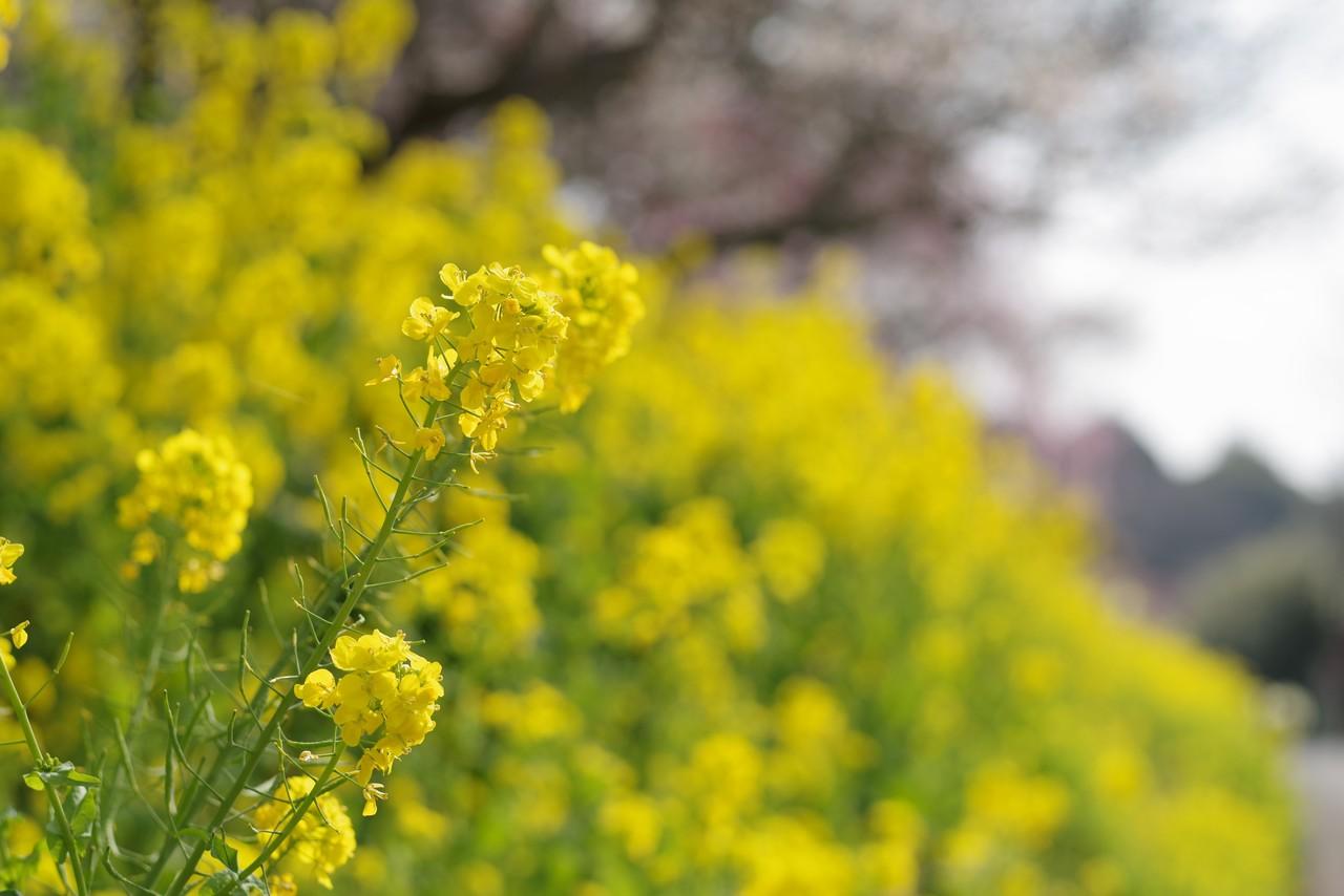 湯河原梅園の菜の花畑