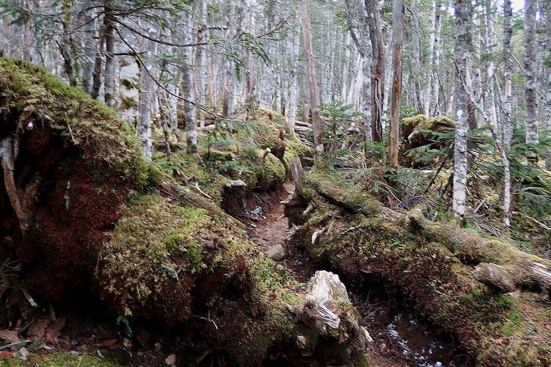 コケに覆われた甲武信ヶ岳の森