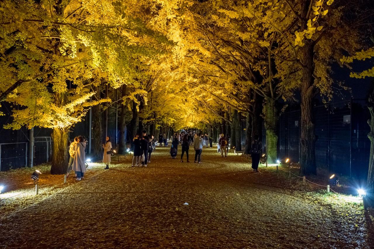 ライトアップ中の昭和記念公園イチョウ並木