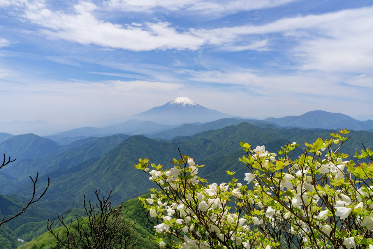 犬越路ルートから見た富士山とシロヤシオ
