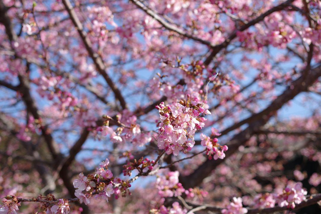 寄集落の河津桜