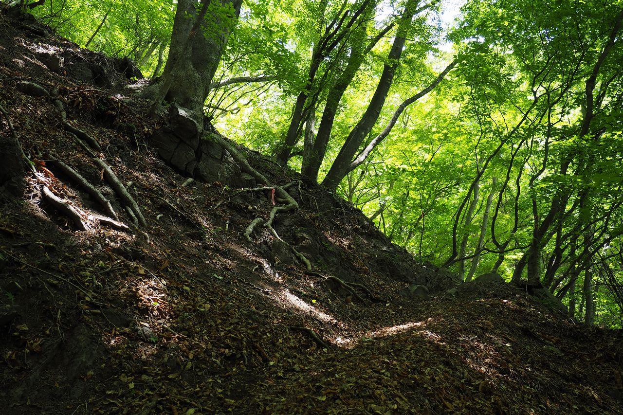 二子山 木漏れ日に照らされた新緑の葉