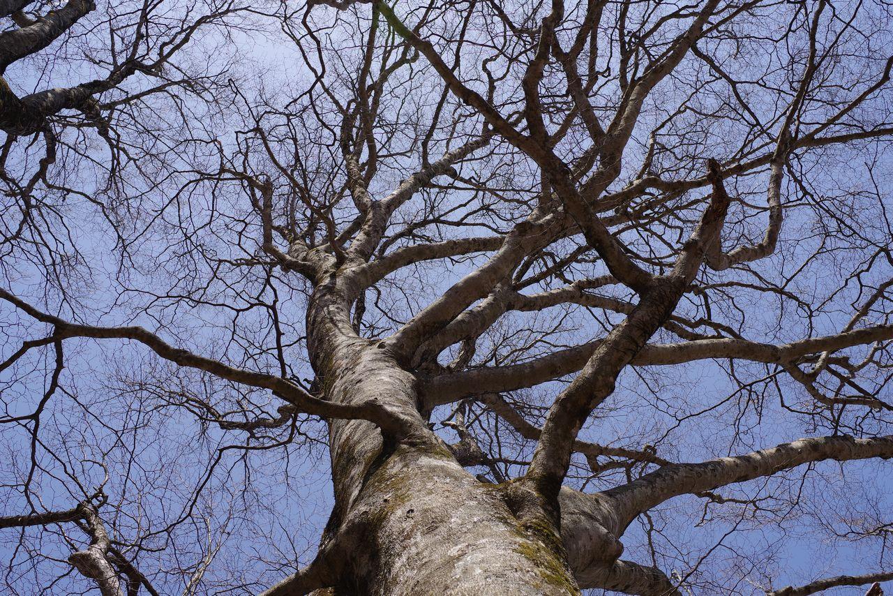 鷹ノ巣山 冬枯れのブナ林