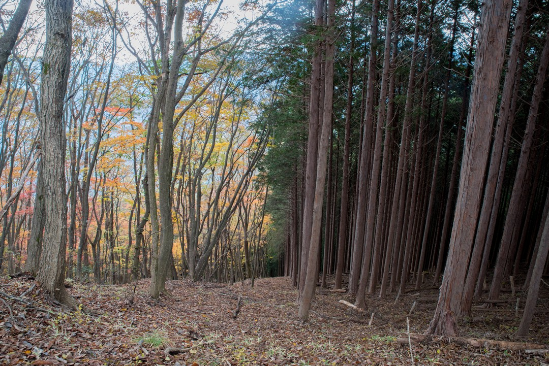 笹尾根の植林と自然林の境界