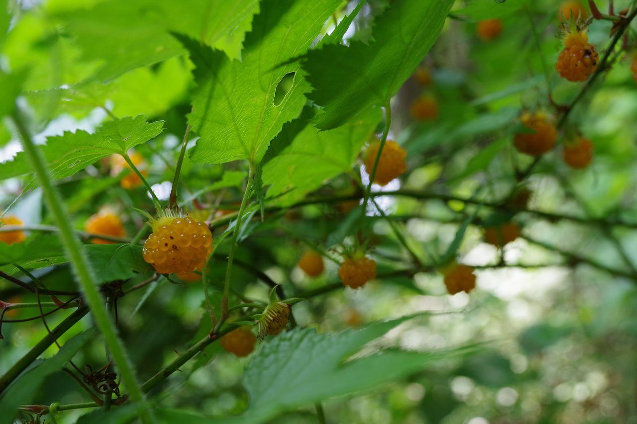紅葉苺の実