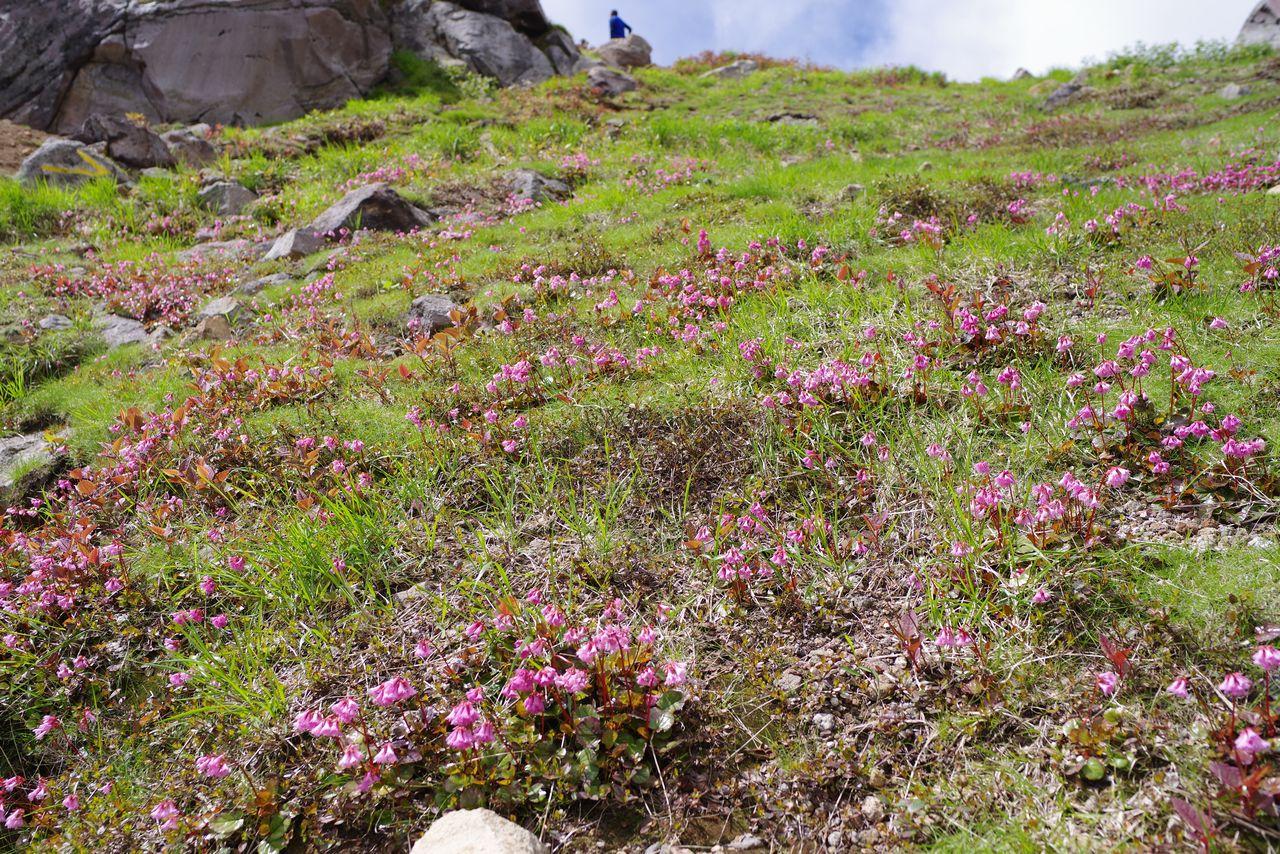 焼岳山頂付近のイワカガミの群落