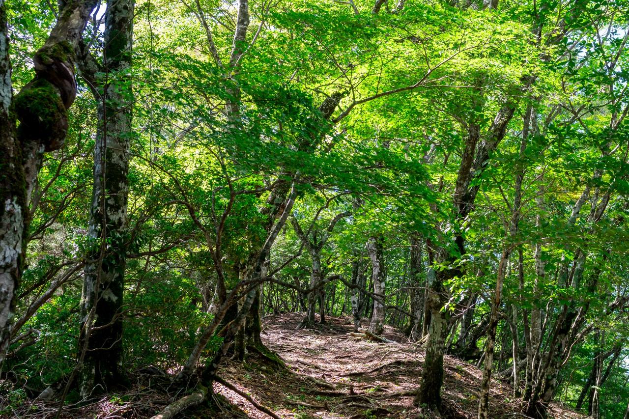 畦ヶ丸のブナ林