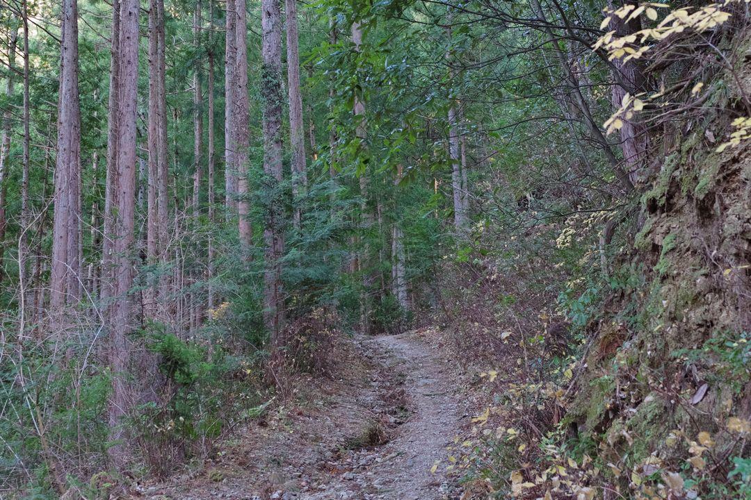 パノラマコースの杉林
