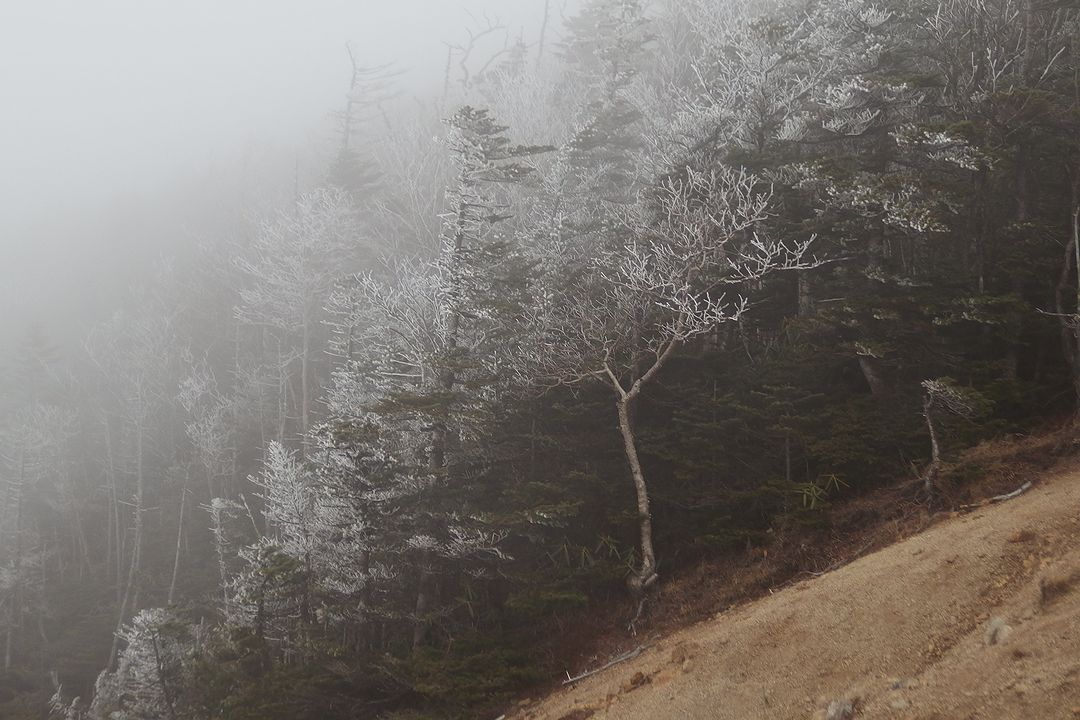 霧氷のコメツガ林