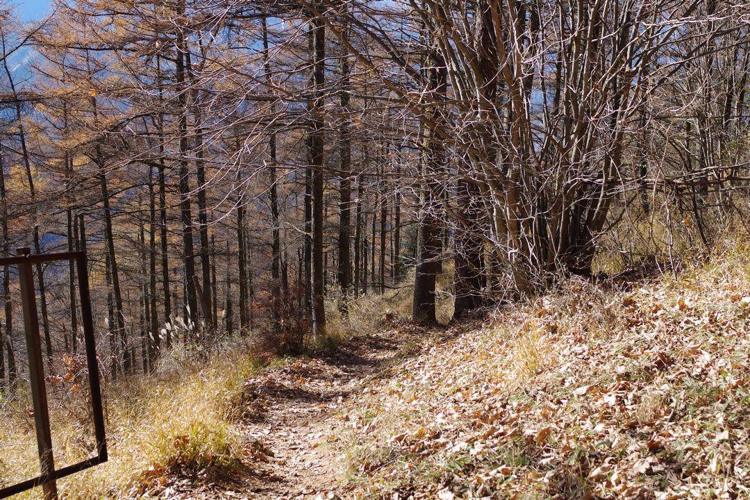 武甲山のカラマツ林