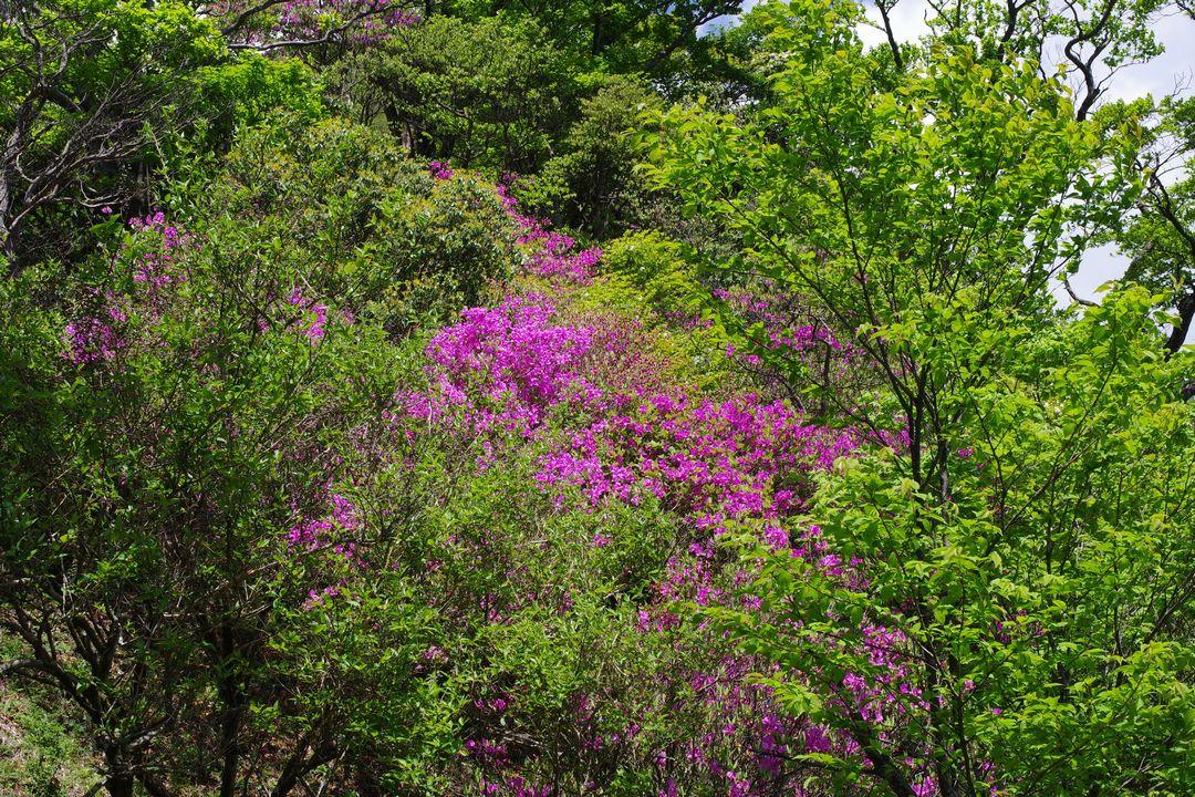 丹沢主稜縦走路のミツバツツジ