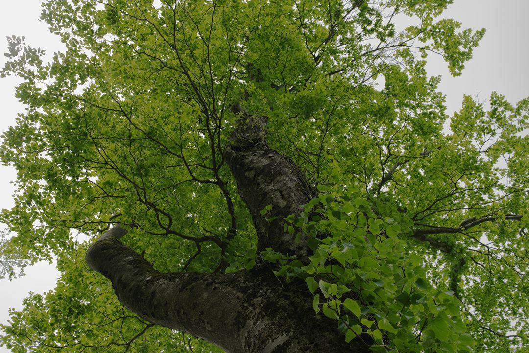 ブナの巨木を下から見上げる